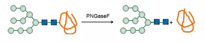 Glycopeptidase; PNGaseF CAS 83534-39-8 EC 3.5.1.52
