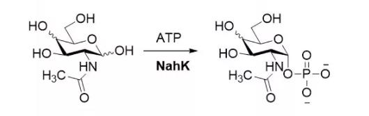 N-acetylhexosamine 1-kinase EC 2.7.1.162