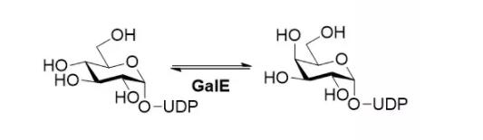 UDP-glucose 4-epimerase CAS 9032-89-7 EC# 5.1.3.2