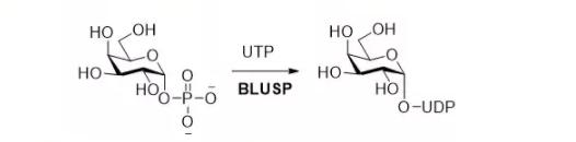 UTP-monosaccharide-1-phosphate uridylyltransferase EC 2.7.7.64