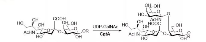beta1, 4-N-acetylgalactosaminyltransferase; CgtA CAS 67338-98-1 EC 2.4.1.92